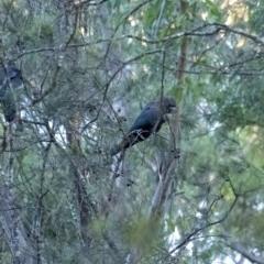 Calyptorhynchus lathami (Glossy Black-Cockatoo) at Wingello - 14 Jun 2020 by Aussiegall