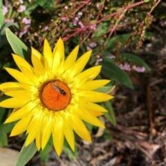 Xerochrysum bracteatum (Golden Everlasting) at Aranda, ACT - 14 Jun 2020 by KMcCue