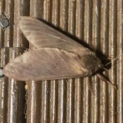Oxycanus sp. (genus) (Unidentified Oxycanus moth) at Hughes, ACT - 14 Jun 2020 by KL