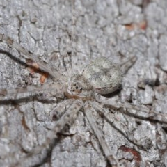 Tamopsis sp. (genus) (Two-tailed spider) at ANBG - 12 Jun 2020 by TimL