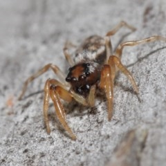 Arasia mollicoma (Flat-white Jumping Spider) at ANBG - 12 Jun 2020 by TimL