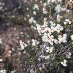 Cryptandra amara (Bitter cryptandra) at Mount Majura - 14 Jun 2020 by WalterEgo