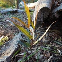 Brachychiton populneus subsp. populneus (Kurrajong) at Deakin, ACT - 9 Jun 2020 by JackyF