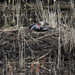 Cygnus atratus (Black Swan) at Tidbinbilla Nature Reserve - 7 Jun 2020 by JohnBundock