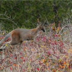 Macropus rufogriseus (Red-necked Wallaby) at Stromlo, ACT - 16 Jun 2020 by Ct1000