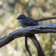 Rhipidura albiscapa (Grey Fantail) at Red Hill Nature Reserve - 9 Jun 2020 by JackyF
