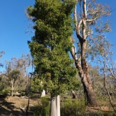 Brachychiton populneus subsp. populneus (Kurrajong) at Red Hill Nature Reserve - 9 Jun 2020 by JackyF