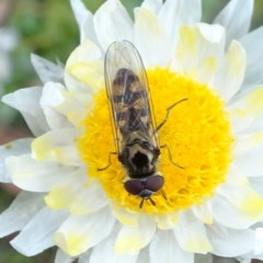 Melangyna viridiceps (Hover fly) at Sth Tablelands Ecosystem Park - 17 Jun 2020 by JanetRussell