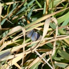 Zizina otis (Common Grass-blue) at Goorooyarroo - 17 Jun 2020 by Ct1000