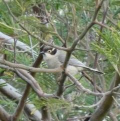 Melithreptus brevirostris at Goorooyarroo - 17 Jun 2020