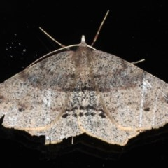 Rhinodia rostraria (Necklace Geometrid) at Ainslie, ACT - 17 Jun 2020 by jbromilow50