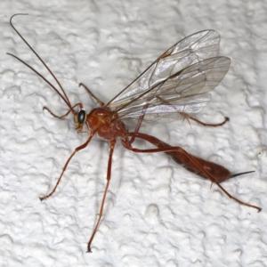 Netelia sp. (genus) at Ainslie, ACT - 17 Jun 2020