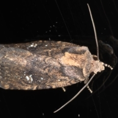 Proteuxoa provisional species 2 at Ainslie, ACT - 27 Nov 2019