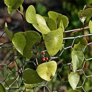 Stephania japonica var. discolor at Brogo, NSW - 18 Jun 2020