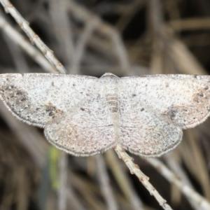 Taxeotis intextata at Ainslie, ACT - 24 Nov 2019