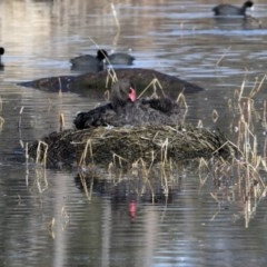 Cygnus atratus (Black Swan) at Jerrabomberra Wetlands - 18 Jun 2020 by redsnow