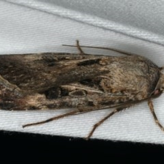 Agrotis munda (Brown Cutworm) at Ainslie, ACT - 24 Nov 2019 by jbromilow50