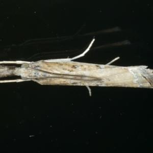 Ptochostola microphaeellus at Ainslie, ACT - 25 Nov 2019