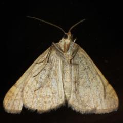 Anachloris subochraria at Ainslie, ACT - 18 Jun 2020