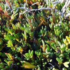 Wilsonia backhousei (Narrow-leafed Wilsonia) at Nelson, NSW - 19 Jun 2020 by JackieMiles