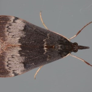 Uresiphita ornithopteralis at Ainslie, ACT - 18 Jun 2020