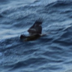 Haliaeetus leucogaster (White-bellied Sea-eagle) at Guerilla Bay, NSW - 19 Jun 2020 by LisaH