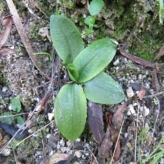 Pterostylis nutans (Nodding greenhood) at Tidbinbilla Nature Reserve - 17 Jun 2020 by SandraH