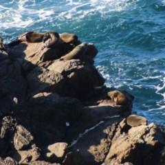 Unidentified Seal (TBC) at Guerilla Bay, NSW - 19 Jun 2020 by LisaH