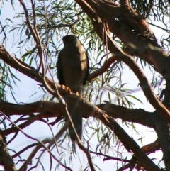 Accipiter fasciatus (Brown Goshawk) at Moruya, NSW - 19 Jun 2020 by LisaH