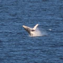 Megaptera novaeangliae (Humpback Whale) at Batemans Marine Park - 19 Jun 2020 by LisaH