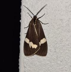 Nyctemera amicus (Senecio or Magpie moth) at Molonglo Valley, ACT - 19 Jun 2020 by AaronClausen