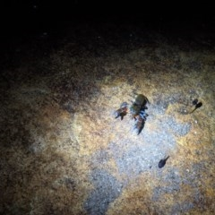 Unidentified Freshwater crustacean (TBC) at Morton National Park - 7 Jun 2020 by DonnaH
