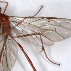 Enicospilus insularis at Ainslie, ACT - 19 Jun 2020