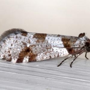 Lepidoscia heliochares at Ainslie, ACT - 19 Jun 2020