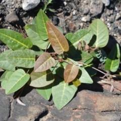 Hardenbergia violacea (False sarsaparilla) at Morton National Park - 18 Jun 2020 by plants