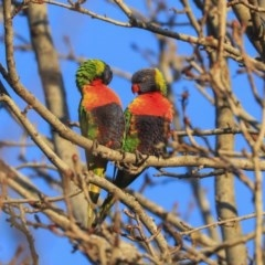 Trichoglossus moluccanus (Rainbow Lorikeet) at Higgins, ACT - 19 Jun 2020 by Alison Milton