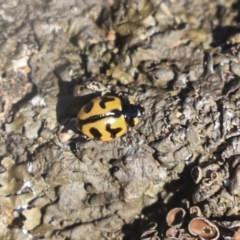 Coccinella transversalis (Transverse Ladybird) at Red Hill Nature Reserve - 19 Jun 2020 by AlisonMilton