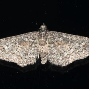 Pasiphilodes testulata at Ainslie, ACT - 19 Jun 2020