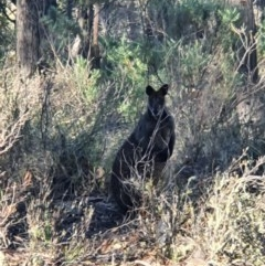 Wallabia bicolor (Swamp Wallaby) at Mount Jerrabomberra - 20 Jun 2020 by Speedsta