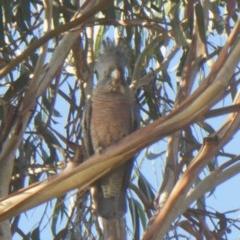 Callocephalon fimbriatum (Gang-gang Cockatoo) at Yarramundi Grassland  - 20 Jun 2020 by GeoffRobertson