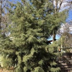 Cupressus sp (genus) (A Cypress) at Hughes, ACT - 17 Jun 2020 by ruthkerruish