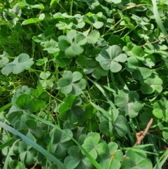 Oxalis sp. (Wood Sorrel) at Oaks Estate, ACT - 30 May 2020 by Speedsta