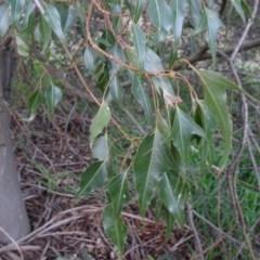 Brachychiton populneus subsp. populneus (Kurrajong) at Murrumbateman, NSW - 20 Jun 2020 by AndyRussell