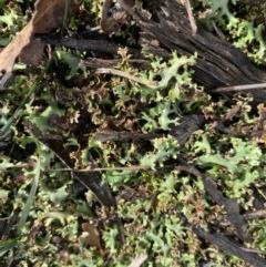 Heterodea sp. (A lichen) at Hughes, ACT - 21 Jun 2020 by KL