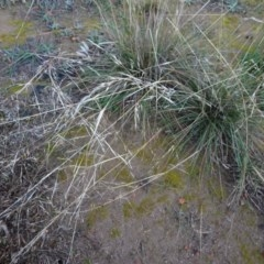 Austrostipa bigeniculata (Kneed Speargrass) at Murrumbateman, NSW - 20 Jun 2020 by AndyRussell