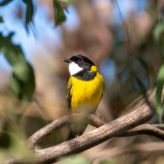 Pachycephala pectoralis (Golden Whistler) at Giralang, ACT - 21 Jun 2020 by b