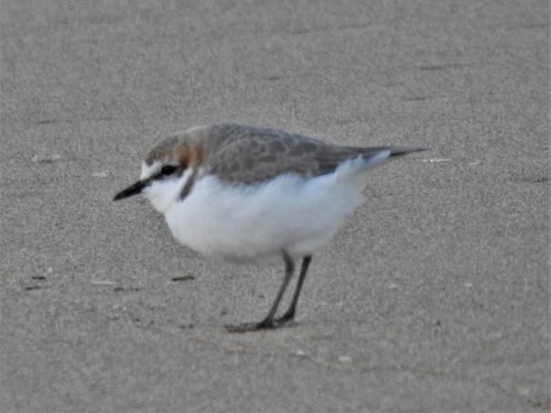 Charadrius ruficapillus at Batemans Marine Park - 18 Jun 2020