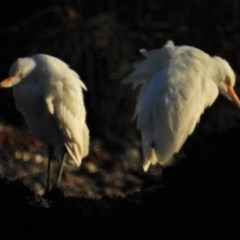 Bubulcus ibis (Cattle Egret) at Batemans Marine Park - 19 Jun 2020 by JohnBundock