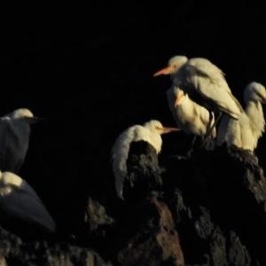 Bubulcus ibis at Batemans Marine Park - 19 Jun 2020