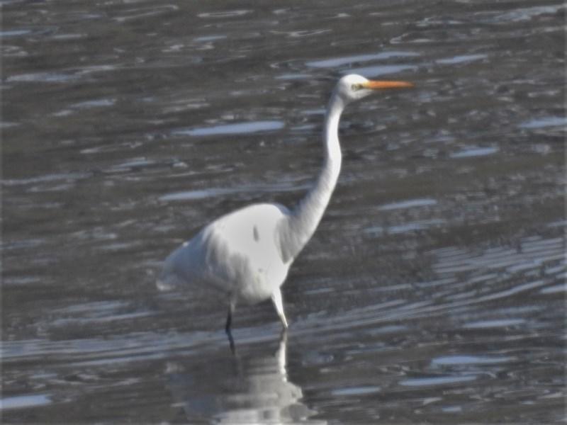 Ardea alba at Batemans Marine Park - 19 Jun 2020